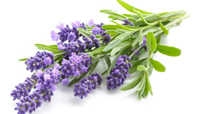 Lavendel hilft einem Mottenbefall mit Lebensmittelmotten vorzubeugen.