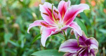 Lilien: pflanzen, pflegen & überwintern