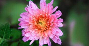 Aster: Pflanzen, Pflege & Tipps