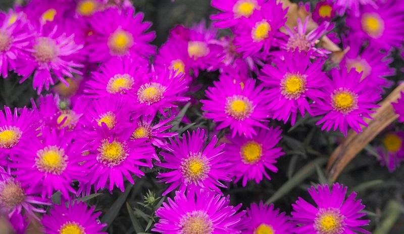 Die Kissenaster: violette, blaue, rosafarbene, oder rote Blüten