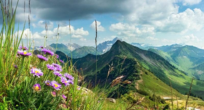 Die Alpenaster: violette, rosafarbene, oder weiße Blüten