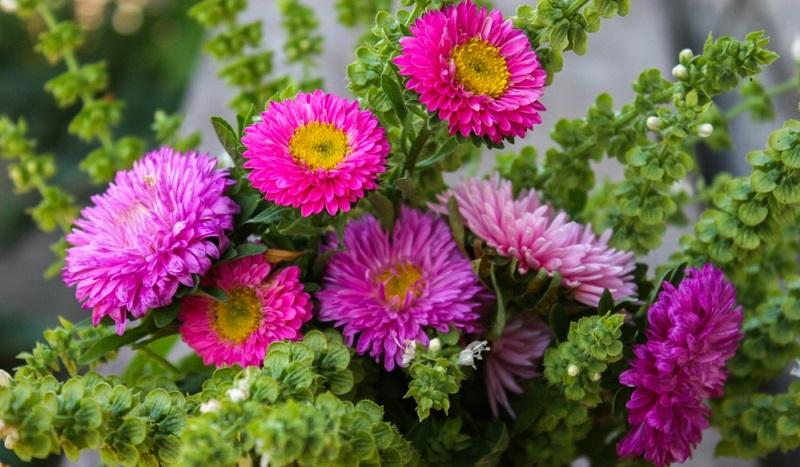 Blüten hat die Aster in Weiß-, Rosa-, Blau-, Rot- und Violetttönen. Die Blütenblätter sind lang, schmal und zungenförmig.