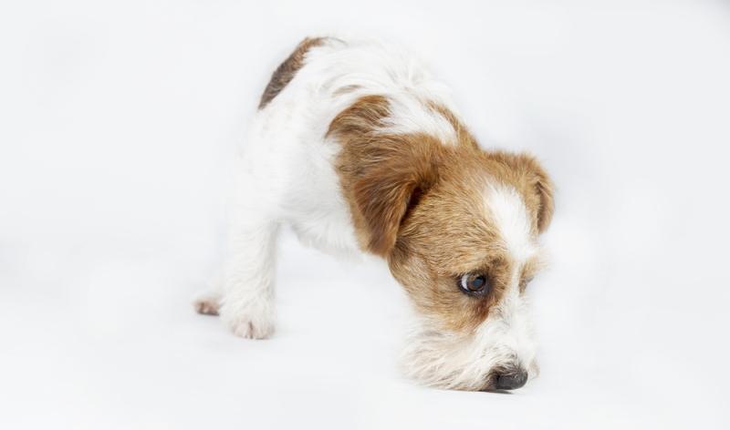 Spürhunde können Bettwanzen reschnüffeln und lokalisieren.