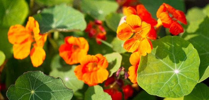Kapuzinerkresse: Pflanzen, pflegen & Tipps