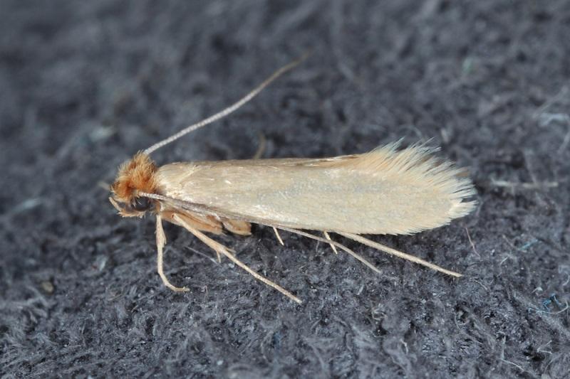 Kleidermottenlarven findet man häufig in einem Gespinst. (#01)