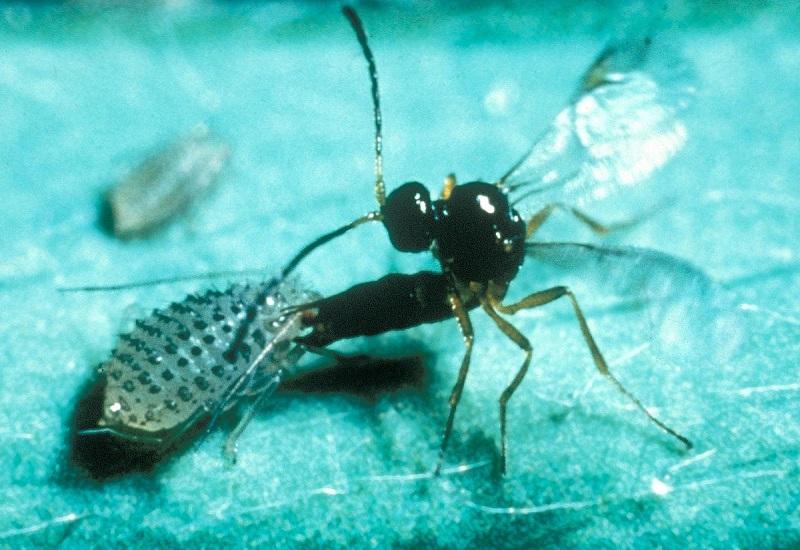Hier eine große Verwandte der gängigen Schlupfwespen, die zur Bekämpfung der Mottenlarven eingesetzt werden. (#03)