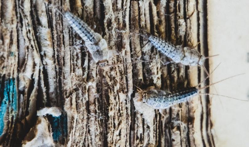 Wer Silberfische in seiner Wohnung entdeckt, kann zwischen vielen verschiedenen Bekämpfungsarten wählen: natürlich oder chemisch.