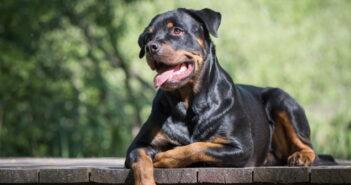 Rottweiler: Liebenswerter Familienhund oder wilde Bestie?