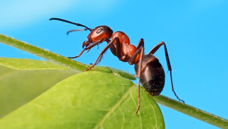 Der Ruf der Ameise als Schädling ist dadurch begründet, dass sich die Tiere mit Vorliebe dort ansiedeln, wo sie die Menschen stören, beispielsweise unter Terrassenplatten oder Steinstufen sowie in Wandritzen.