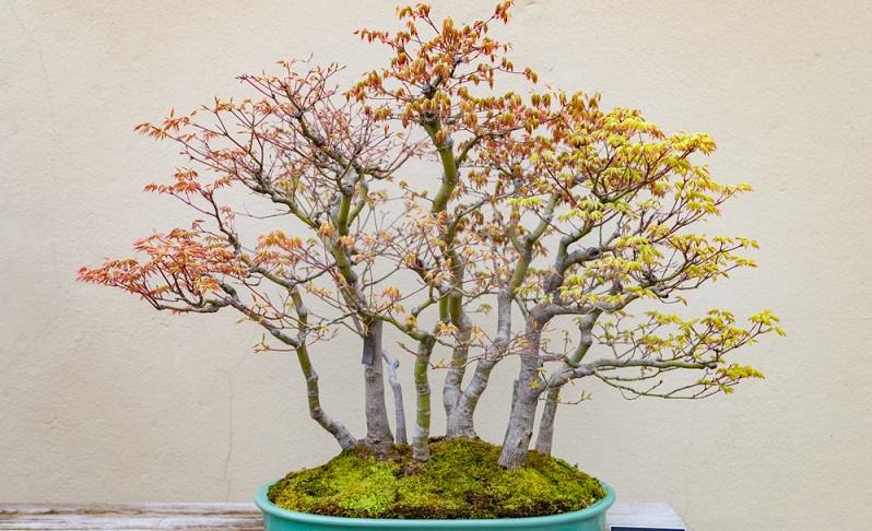 Bonsai schneiden: Mit der Yose-Ue Form gestaltet man einen kleinen Wald.