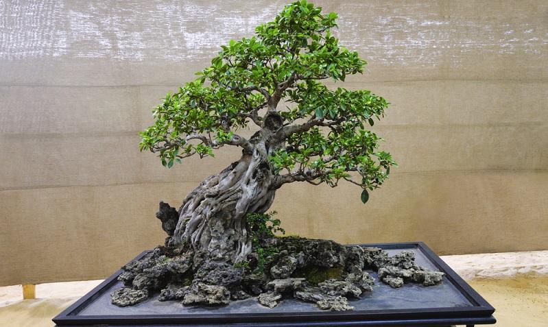 Bonsai schneiden mit dem Blattschnitt: Bei dieser Zimmerpflanze, einem Ficus, sieht man den gelungenen Blattschnitt. Die Blattgröße passt zur Baumgröße.