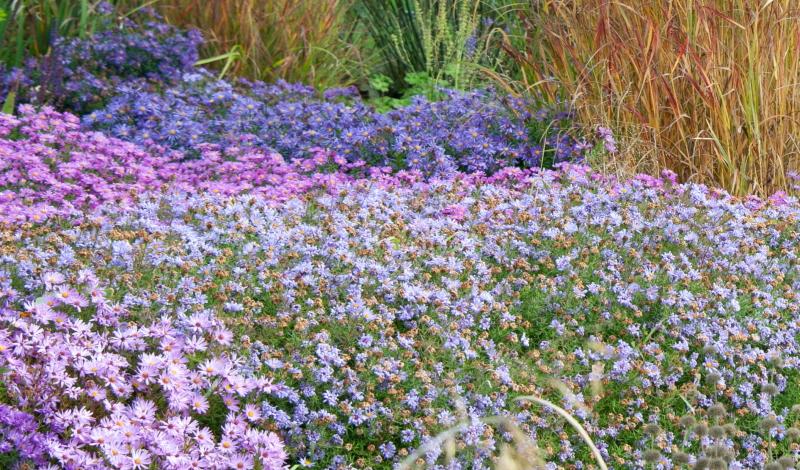 Die Kornblumenaster: ein Meer aus Violett und Blau