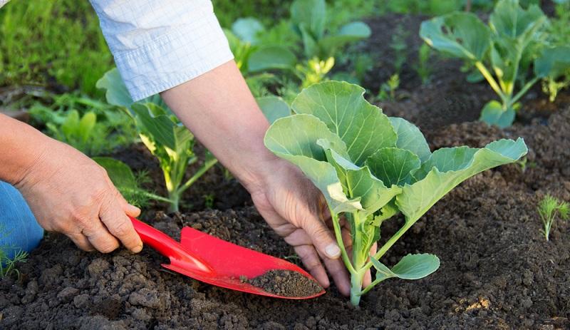 Soll der Boden für Kohlpflanzen mit Gründünger vorbereitet werden, sollten keine Kreuzblütler verwendet werden.  ( Foto: Shutterstock- Anna Klepatckaya )