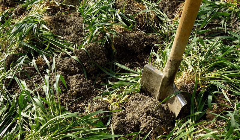 Die verschiedenen Gründünger, die im Frühjahr eingegraben oder hier auch erst gesetzt werden, haben eine unterschiedliche Wurzeltiefe ( Foto: Shutterstock- _Denis Pogostin )